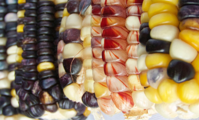 maize, corn, close-up