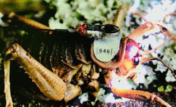 Weta, Augmented, Insect, Close-Up, Organism
