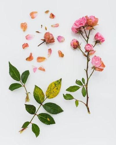 Rose petals, leaves and plant