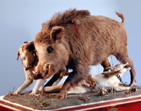 Wild boar tableau mounted by Paolo Savi 1824. Copyright: Museo di Storia Naturale e del Territorio, Università di Pisa