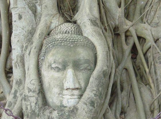 En buddha-statue overvokst av røtter. Foto.